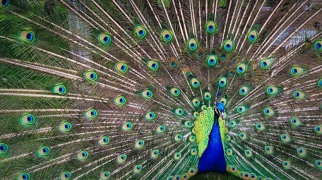 male peacock presenting to female